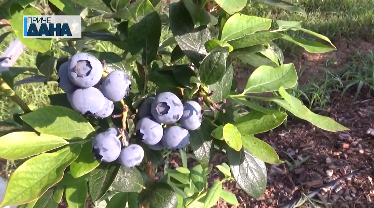 Uzgoj borovnice