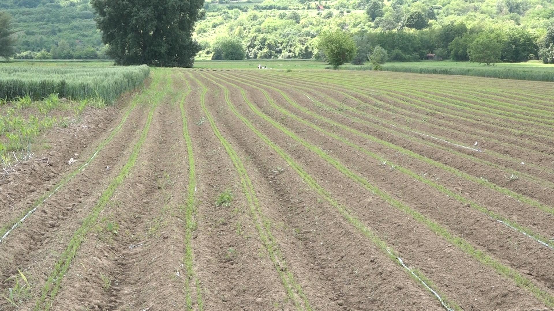 ZELENO POMORAVLJE – Proizvodnja šargarepe u Raševici