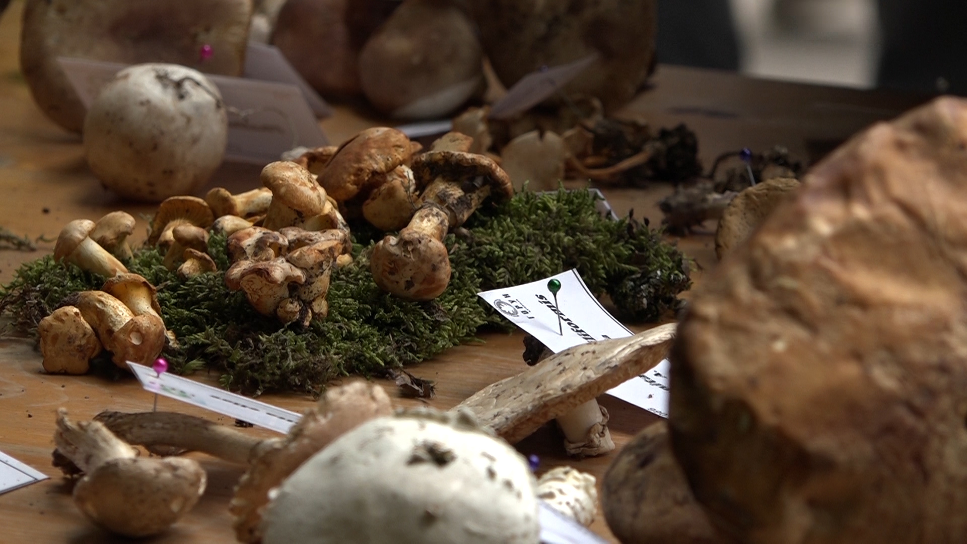 Izložba samoniklih gljiva u Ćupriji